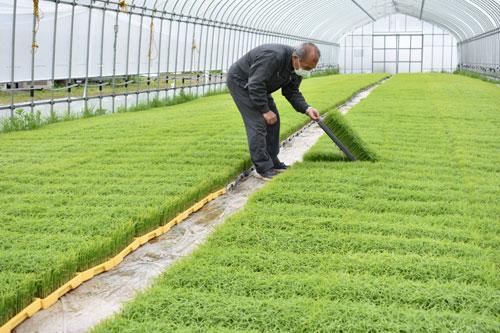 市内でも、だんだんと田植えの準備が進められている。位田町にあるJA京都にのくに育苗センターでは現在、約30棟のビニールハウスでコシヒカリの水稲苗を栽培。生育は順調で、25日頃からJA組合員の農家に向けて出荷される予定。