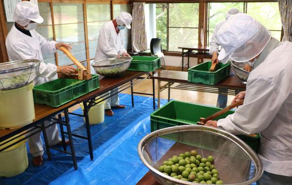 特産品の「和木梅」が収穫期を迎えた和木町農林業振興組合(谷口和紀組合長)では、コロナ禍でイベントは縮小する一方で各種商品の加工作業は今年も例年通りにスタート。26日には組合員ら15人が同町公会堂に集まり、大粒の青梅のしぼり汁を長時間煮詰めて濃縮させる「梅肉エキス」の加工に精を出した。
