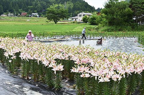 睦寄町山内集落にあるユリ園で現在、ピンク色のユリが見ごろになっている。これから、黄色や紅色のユリも開花するようで、今月末ごろに咲きそろいそうだという。