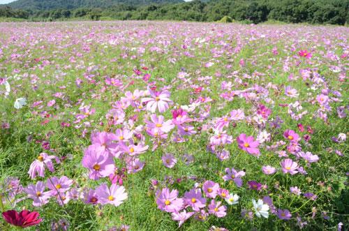 摘み取りもご自由にどうぞ―。市内のあちこちでは今、コスモスの花が美しく咲いているが、昨年に続き新型コロナの影響で青野町の由良川花庭園で予定されていた「コスモスまつり」(市シルバー人材センター主催)は中止された。一方で同センターが栽培したコスモスは見ごろを迎えており、「今月中旬くらいまでは見ごろが続きますので、観賞や摘み取りを楽しんで」と呼びかけている。